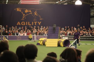 Westminster Kennel Club Agility Competition finals