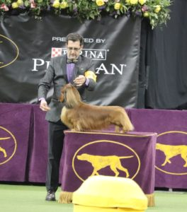 Veteran Long Haired Dachshund George Burns (aged 7), winning best of class for the hound group and moving up to the Best in Show competition