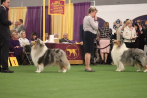 Rough Coated Collies Marilyn and Saxon (veteran) showing in best of breed competition