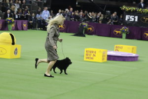 Schipperke (winner of best of non sporting class) Colton (veteran aged 7)