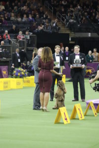 Veteran Sussex Spaniel, Bean (aged 7) competing in Best in Show